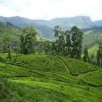 Kandy Hill Country Tea Plantation